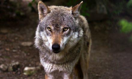 El Gobierno decide prohibir la caza del lobo en toda España con el voto en contra de la Xunta